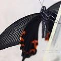 Photos: 裏翅も綺麗。(越冬クロアゲハ羽化)