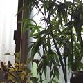写真: 水栽培のモミジアオイ。
