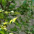 ブルーベリーに蛹発見(垂蛹)