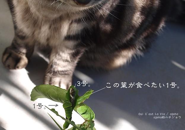 ケンカしちゃダメヨ。(ナミアゲハ飼育 越冬)