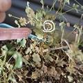 大きさ。ヤマトシジミの幼虫もいるよ。(アリとカイガラムシ)