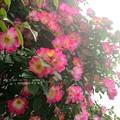 バラが滝咲きの季節。