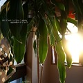 Photos: 夕日とドラセナ。(幸福の木)