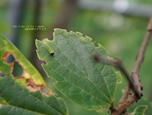 オオムラサキはタテハチョウ科(荒川自然公園)