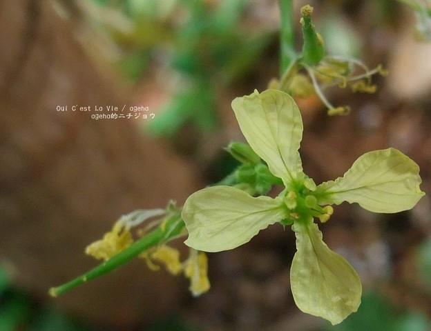 タラ・ミラ花はやっぱりアブラナ科。