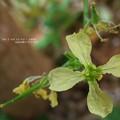 Photos: タラ・ミラ花はやっぱりアブラナ科。