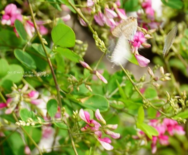 Photos: ウラナミシジミ&ヤマトシジミのシジミ三昧。