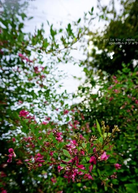 Photos: 萩爛漫。
