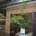 Photos: モウソウチク開花67年ぶり?