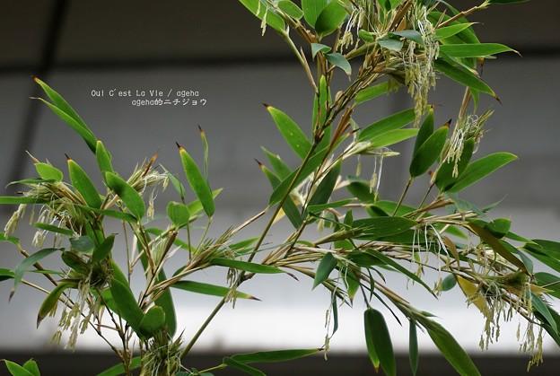 池袋東武盆栽屋。(モウソウチク開花)