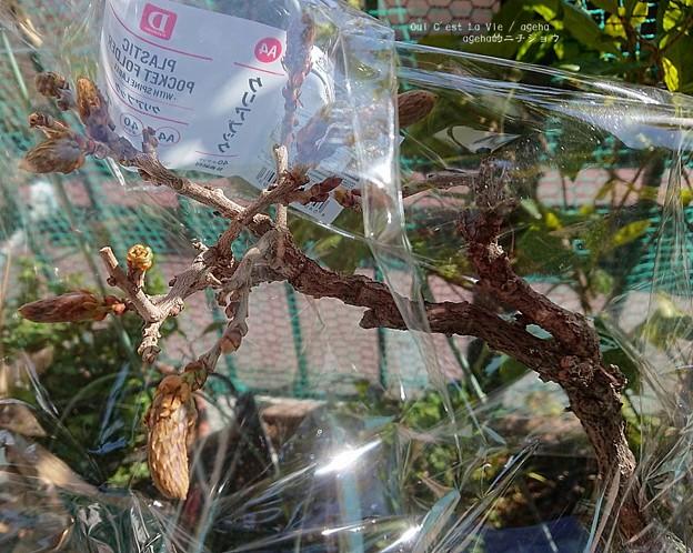 福島から来た藤盆栽。