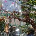 Photos: 福島から来た藤盆栽。