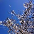 今年の桜。2020