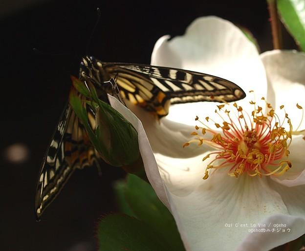 ナミアゲハ&ジャクリーヌ・デュ・プレイ (アゲハ飼育 越冬蛹)