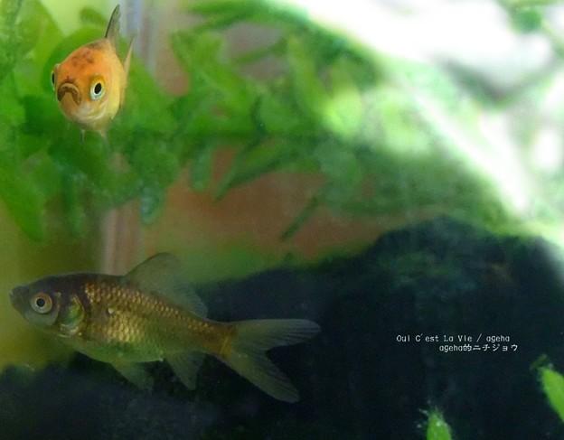 Photos: 5月頃の金魚稚魚。