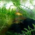 Photos: フナ色から金魚色へ。