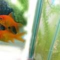 Photos: 現在。金魚すくいサイズ。