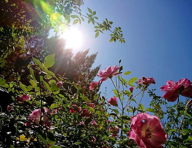 秋薔薇満開。(四季の香ローズガーデン)