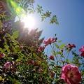 Photos: 秋薔薇満開。(四季の香ローズガーデン)