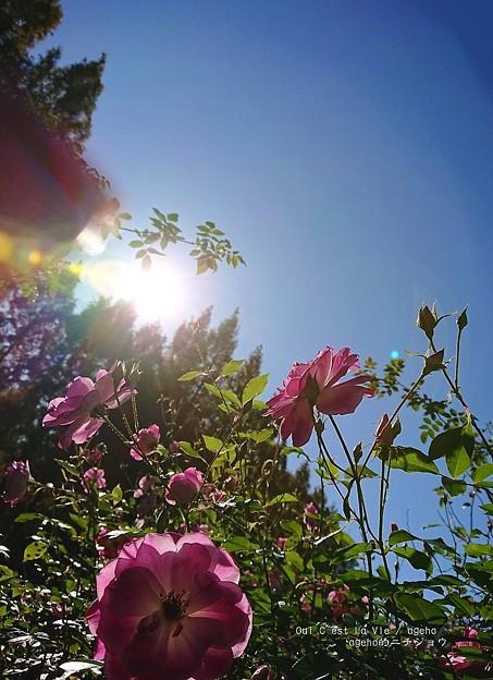 Photos: 昼寝にうってつけの日。(四季の香ローズガーデン)
