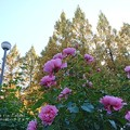Photos: 芍薬のよう。(四季の香ローズガーデン)