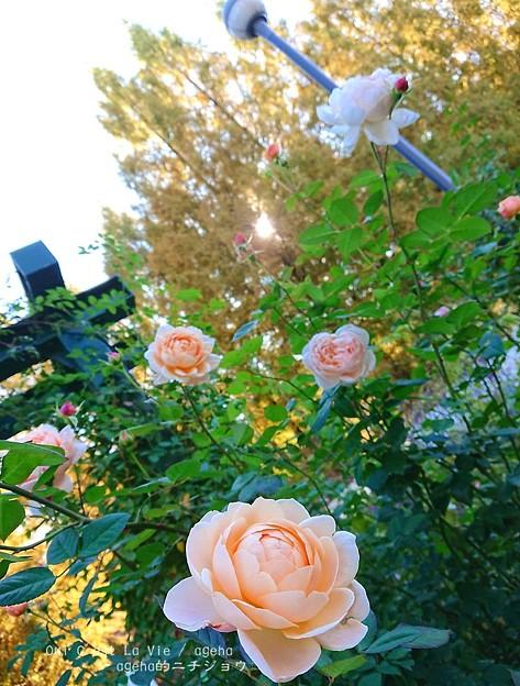 Photos: 夕暮れ。(四季の香ローズガーデン)