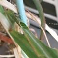 サトウキビで越冬。(チャバネセセリ飼育)