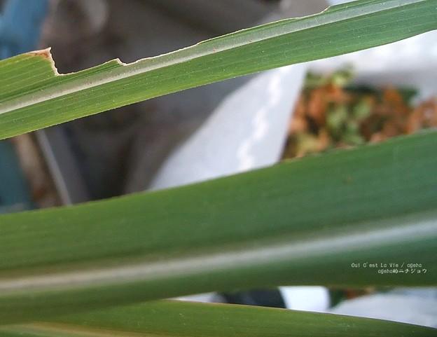 古い食痕。(チャバネセセリ飼育)