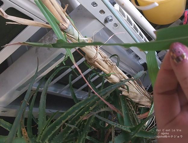 普通は先端を巣に使うよ。(チャバネセセリ飼育)
