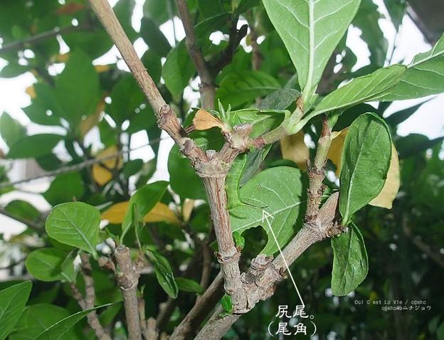 12月の幼虫。(オオスカシバ飼育)