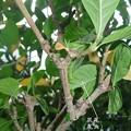 Photos: 12月の幼虫。(オオスカシバ飼育)