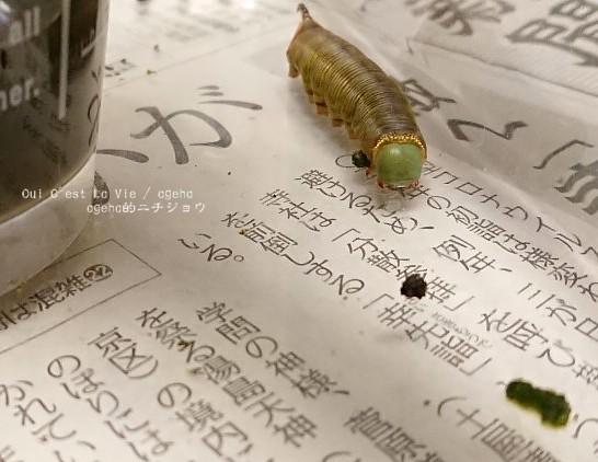 蛹になりまーす。(オオスカシバ飼育)