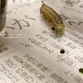 Photos: 蛹になりまーす。(オオスカシバ飼育)