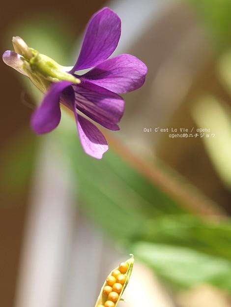 花と種。(スミレ閉鎖花)