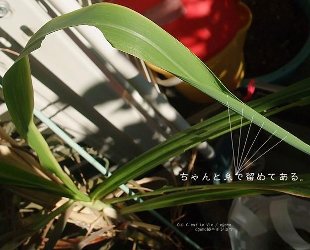 芸術的な吐糸。(チャバネセセリ 越冬幼虫)