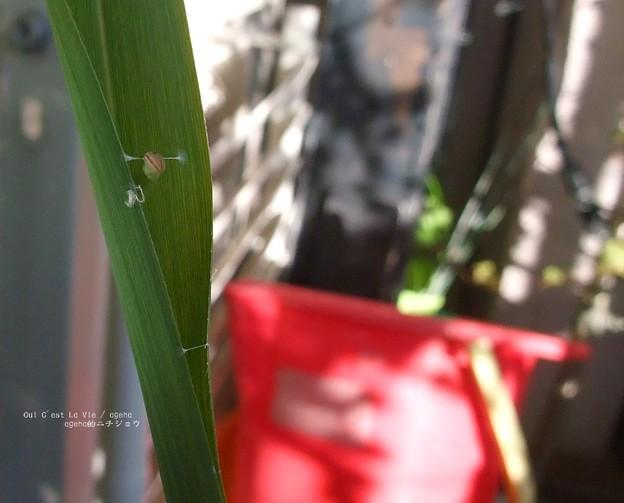 首が(チャバネセセリ 越冬幼虫)