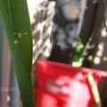 Photos: 首が(チャバネセセリ 越冬幼虫)