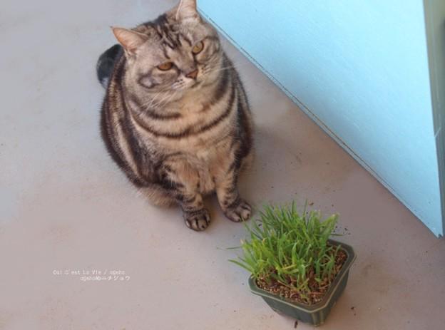 猫草もイネ科だにゃ。