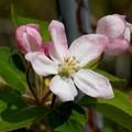 写真: 姫リンゴの花