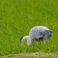 餌を探す青鷺