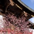 写真: 常宮神社の紅梅