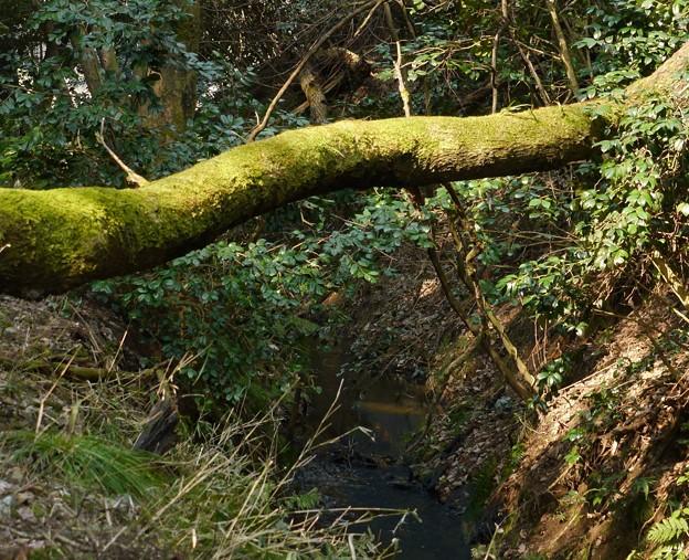 写真: 苔の丸木橋