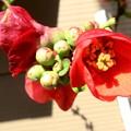 写真: 木瓜の鉢植え