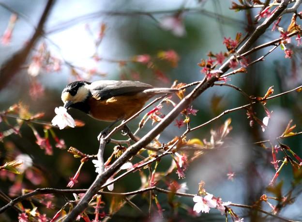 桜の花頂き!