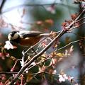 写真: 桜の花頂き!