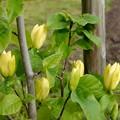 写真: 黄色の木蓮