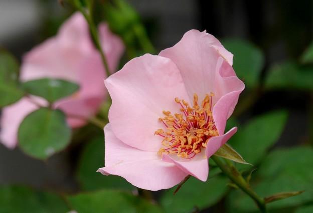 単衣の薔薇
