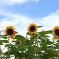 写真: 向日葵の笑顔