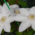 写真: 2度咲き