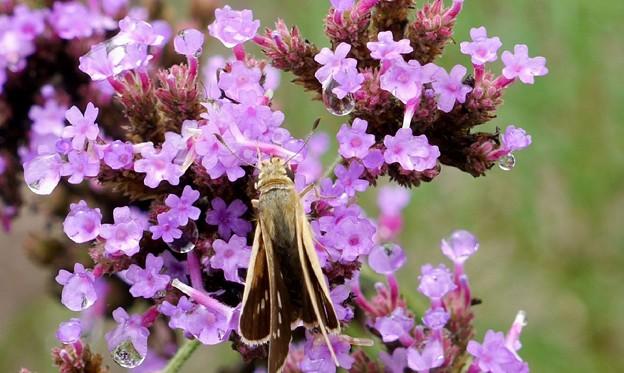 柳花笠と蝶